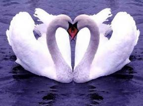 Coeur cygnes