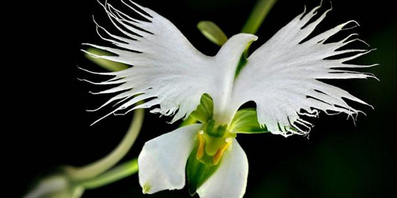 Fleur colombe