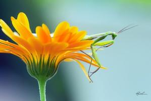 Fleur sauterelle