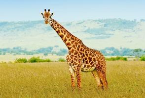 Giraffe animal totem 1