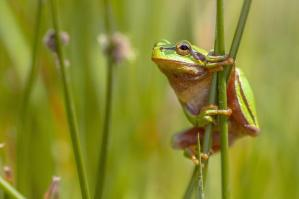 Grenouille animal totem 1