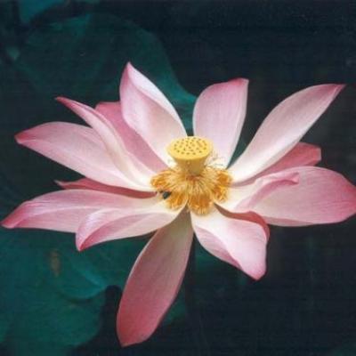 Lahochi lotus