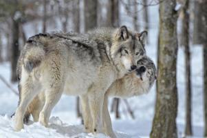 Loup animal totem 1