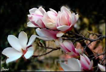 Magnolia matin