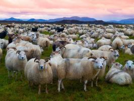 Mouton animal totem 1