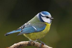 Oiseau mesange bleue