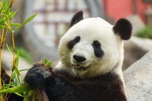 Panda animal totem 1