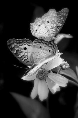 Papillons noir et blanc