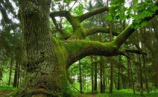 Pensee du jour arbre chene