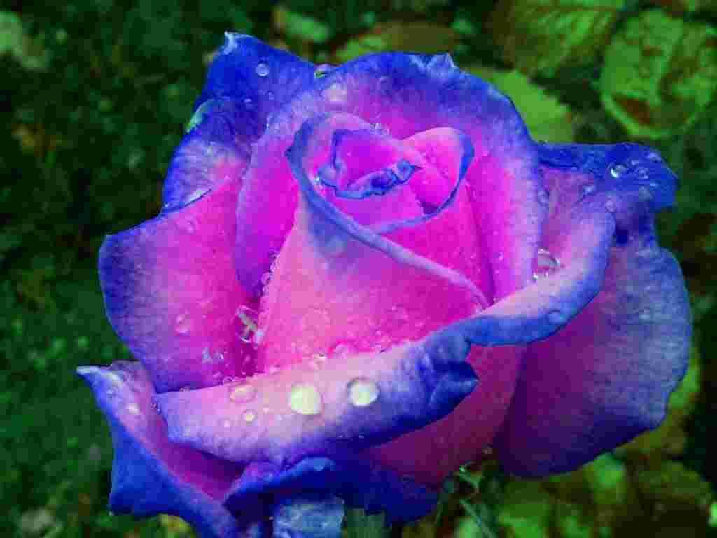 Rose bleu rose