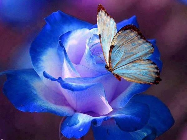 Rose bleue et papillon