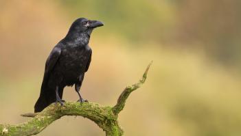Totem corbeau